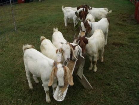 m4m-goat-oct12